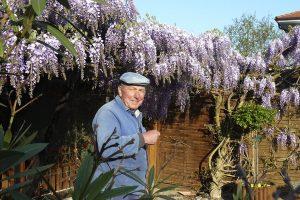 In prachtvoller Blüte: Blauregen von Friedrich Karch