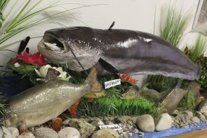 Read more about the article Fisch-Präparate im Rathaus Leutesheim